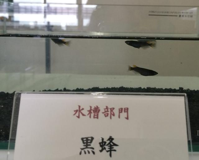 鑑賞メダカ品評会主催:日本メダカ協同組