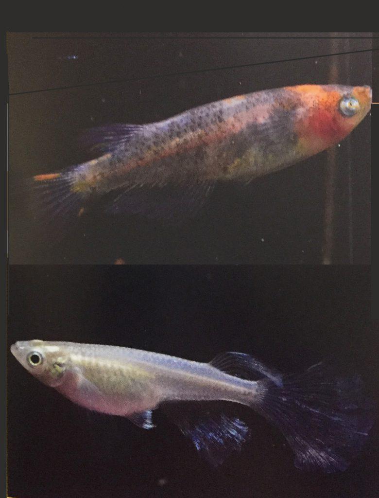 3色錦スモールアイ/青ヒレ長