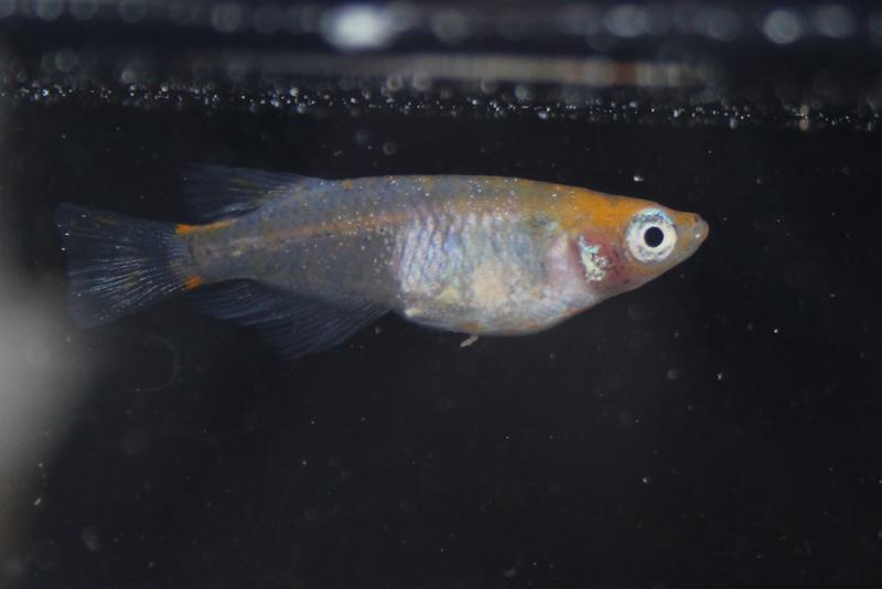 琥珀透明鱗錦3色